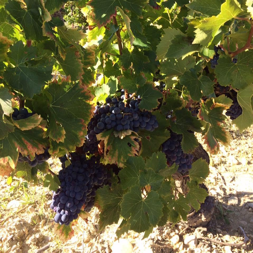 Vignerons de Sainte Cécile les Vignes